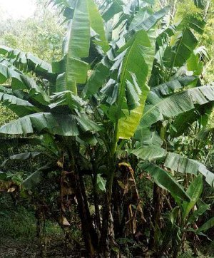 abaca-plant